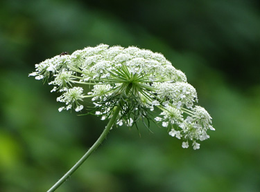 Queen Anne's Lace (flower)